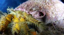 A Hairy Yellow Hermit Crab,Aniculus Maximus,Crawls Towards Camera
