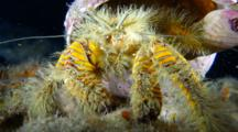 A Hairy Yellow Hermit Crab, Aniculus Maximus, Feeding And Pruning