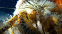 A Hairy Yellow Hermit Crab, Aniculus Maximus, Feeding Very Close Shot