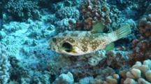 A White-Spotted Puffer, Arothron Hispidus, On A Coral Reef In Hawaii