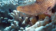 A Whitemouth Moray Eel Attacks Another Eel On A Tropical Coral Reef 60 Fps
