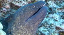 A Yellowmargin Moray Eel, Gymnothorax Flavimarginatus, Resting And Breathing