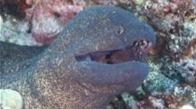 A Huge Yellowmargin Moray Eel, Gymnothorax Flavimarginatus, Resting And Breathing