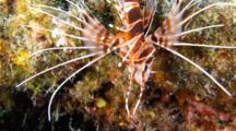 A Hawaiian Red Lionfish, Pterois Sphex, On A Coral Reef At Night