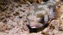 A Spotted Porcupinefish, Diodon Hystrix, Slowly Swims On A Coral Reef At Night