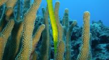 A Chinese Trumpetfish, Aulostomus Chinensis, On A Tropical Coral Reef