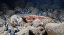 An Ornate Octopus Crawls Into A Tiny Hole And Disappears In The Seafloor