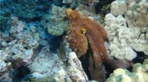 A Hawaiian Octopus On A Coral Reef