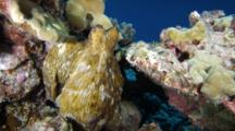 An Octopus Changing Colors While On A Coral Reef