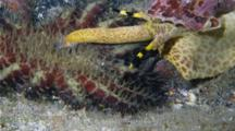 Crown Of Thorns Starfish Flips Onto Its Back After Being Attacked By A Tritons Trumpet Snail