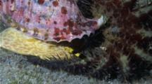 A Tritons Trumpet Snail And A Crown Of Thorns Starfish Battle