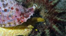 A Tritons Trumpet Snail Feeds On A Crown Of Thorns Starfish While It Flees