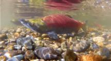Sockeye Salmon Spawn In The Cedar River In Seattle