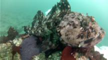 Cabezon Fish Siting On Its Egg Mass