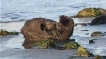 A Sea Otter Grooms While On The Shore In Moss Landing