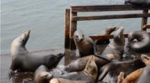 Sea Lions At Fisherman's Wharf In Monterey