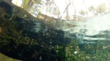 Bluegill Or Other Freshwater Fish Approach Camera