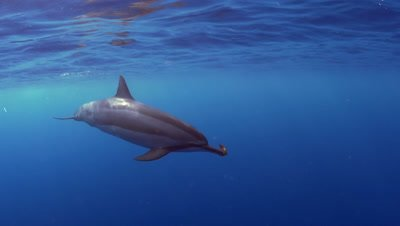 Spinner dolphin plays with a piece of seaweed at Two Step Beach in Kona Big Island Hawaii