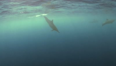 Spinner dolphin dives at Two Step Beach in Kona Big Island Hawaii