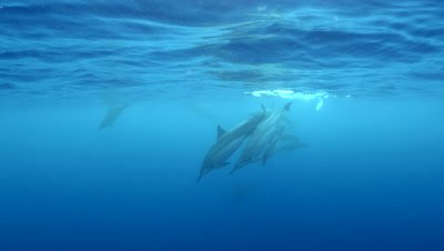 Pod of spinner dolphins at Two Step Beach in Kona Big Island Hawaii