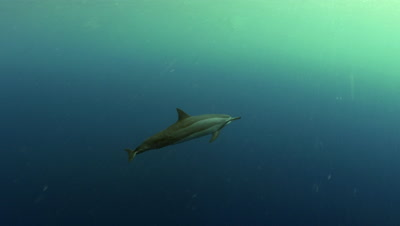 Spinner dolphins at Two Step Beach in Kona Big Island Hawaii