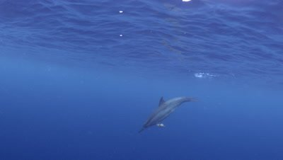Spinner dolphin plays with seaweed at Two Step Beach in Kona Big Island Hawaii