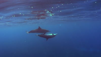 Spinner dolphin have sex at Two Step Beach in Kona Big Island Hawaii