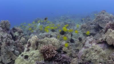 School of yellow tangs on reef underwater off the Kona Coast Big Island Hawaii