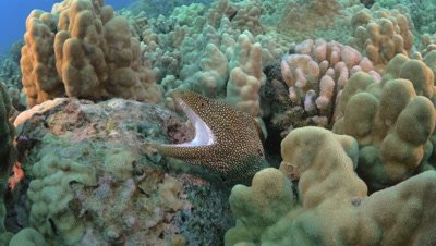 White spot moray eel on reef opens mouth underwater off the Kona Coast Big Island Hawaii