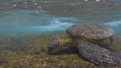 Green sea turtles feed on algae and get hit with waves on a coral reef 4K