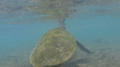 Green sea turtle feeds on algae and gets knocked by waves on a rocky coral reef