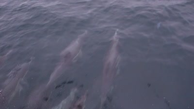 A bod of long beaked common dolphins bow riding a boat in Monterey Bay California