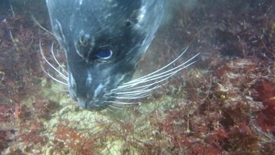 Harbor seal bites flounder chews it up and spits it out while hunting and feeding on small fish at night.
