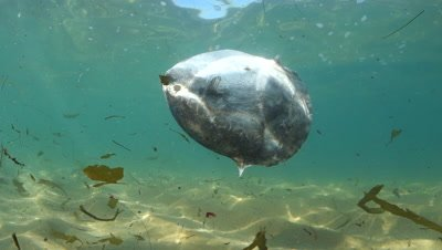 A dead mola-mola or ocean sunfish in Monterey Bay