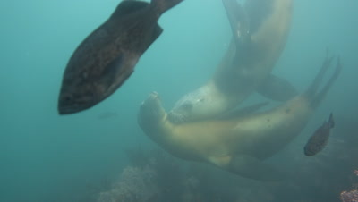 Sea lions rub and kiss each other underwater