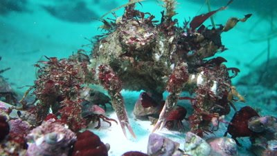 Decorator crab and hermit crabs feed on dead mola-mola or ocean sunfish