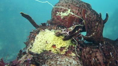 A mating group of California Sea hares breeding and laying egg masses