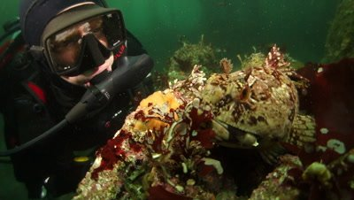 Scuba diver checks out large cabezon in monterey bay