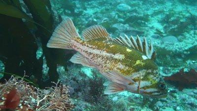 Copper rockfish in kelp forest