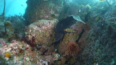 A huge lingcod on a reef at Monastery Beach in Carmel Monterey Bay California Underwater