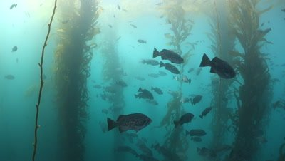 A large school of rockfish under a kelp canopy in slow motion during day Monterey Bay