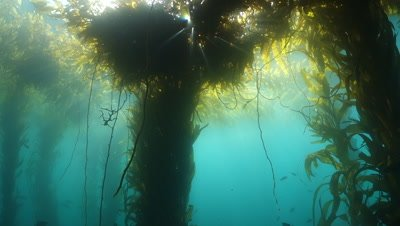 Kelp Forest Habitat Stock Footage