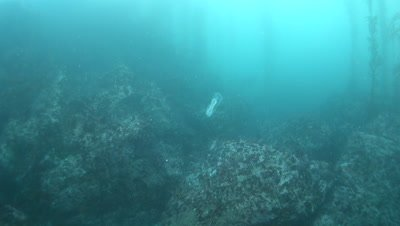 Salp chain in a kelp forest in Monterey Bay Monastery Beach underwater slow motion