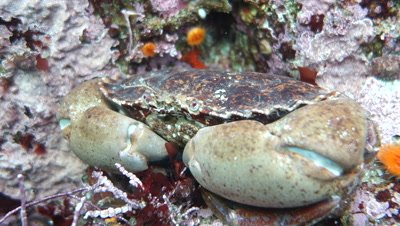 Dungeness crab with mouth parts on a cold water reef