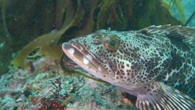 Close of face of lingcod on rock in Monterey Bay California underwater