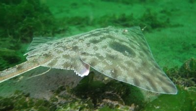 Big skate swims over the seafloor and seaweed in Puget Sound