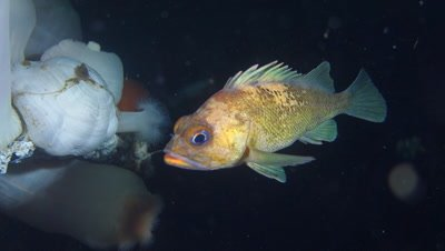 Copper rockfish at night in front of plumose anemones close