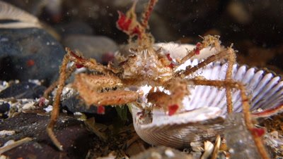 Longhorn decorator crab walking slowly over shell