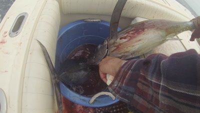 A fisherman with a knife bleeds and kills an Albacore tunafish while fishing on a sport boat