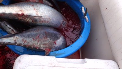 Fishermen bleed albacore tuna into a bucket on a tuna fishing sport boat